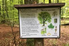 Baumlehrpfad-Bergahorn