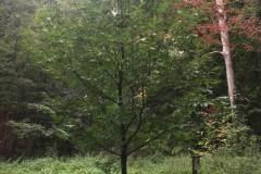 Baumlehrpfad-Edelkastanie-h