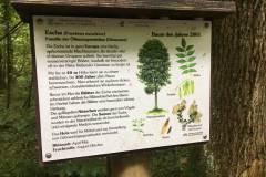 Baumlehrpfad-Esche
