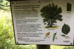 Baumlehrpfad-Salweide