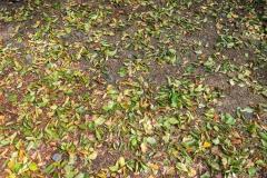 Bäume werfen auch grüne Blätter jetzt schon Anfang August ab